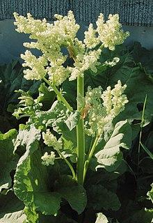 Rheum palmatum L.
