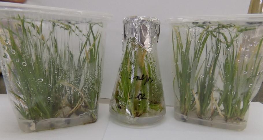Растения-регенеранты I. sibirica