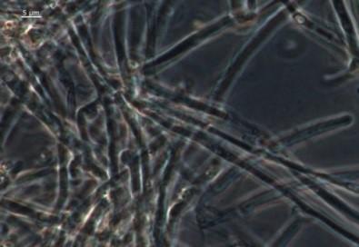 Мицелий гриба P. ostreatus 23