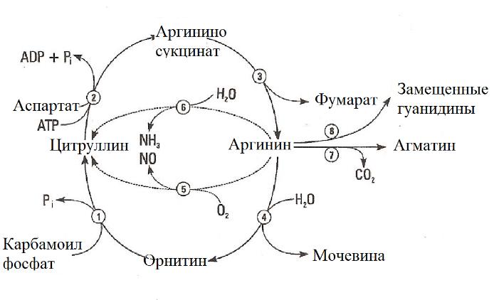 Метаболизм L-аргинина